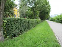 V městské zeleni probíhá druhý řez živých plotů.