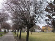 Ořezy alejových stromů v městské zeleni.